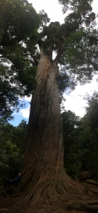 Totara Peel Forest.jpg